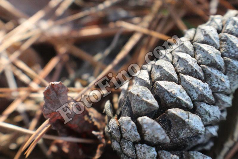 Pine Cone - FotoFino.com